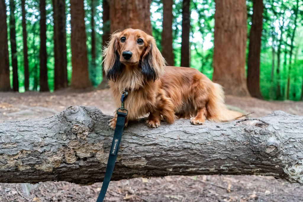 Cheddar standing on a fallen log