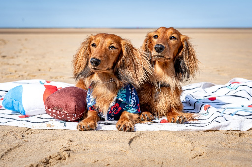 Cheddar and Chester lay on a beach towel with wet fur