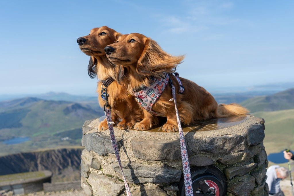 Two sausage dogs sat on the summit marker of Mt Snowdon