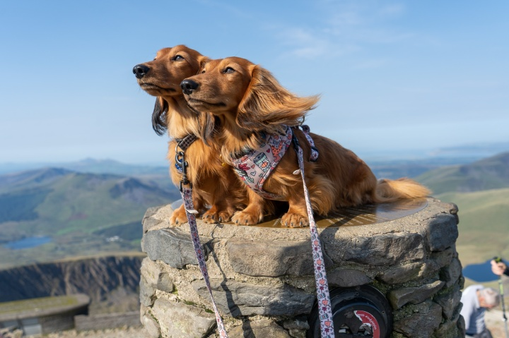 Climbing Snowdon with Sausage Dogs
