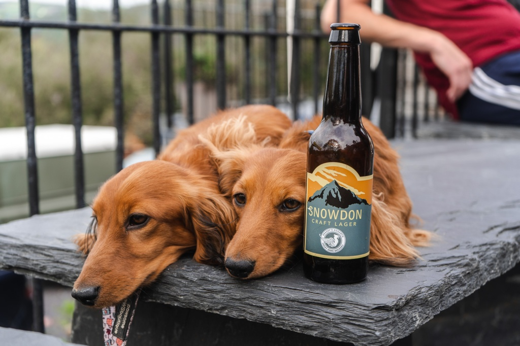 Two dogs lie down next to Snowdon Craft Lager